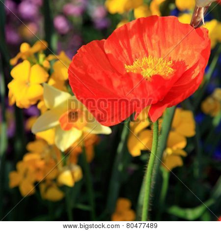 Red Poppy And Yellow Daffodils