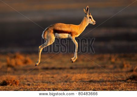 Springbok antelope (Antidorcas marsupialis) jumping or pronking, South Africa