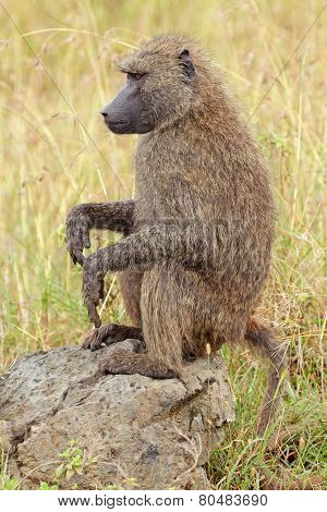 An olive baboon (Papio anubis) sitting on a rock, Lake Nakuru National Park, Kenya