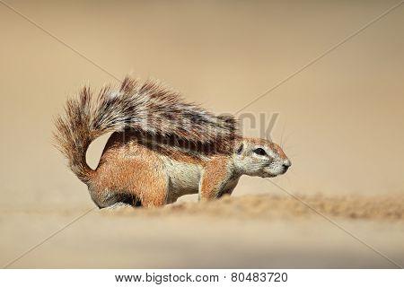 A ground squirrel (Xerus inaurus), Kalahari desert, South Africa