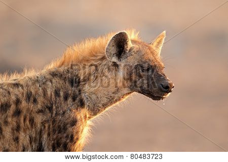 Portrait of a spotted hyena (Crocuta crocuta), Etosha National Park, Namibia