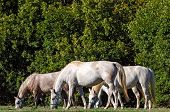 pic of lipizzaner  - Lipizzan horses Slovenia in a beautiful natural landscape - JPG