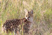 stock photo of predator  - A serval Leptailurus serval in the savannah of Serengeti National Park Tanzania - JPG