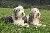 stock photo of collie  - Two amazing bearded collies lying in the grass in later summer - JPG