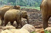 picture of indian elephant  - Indian elephants in elephant nursery - JPG