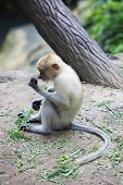foto of monkeys  - Proboscis Monkeys Nasalis larvatus or long - JPG