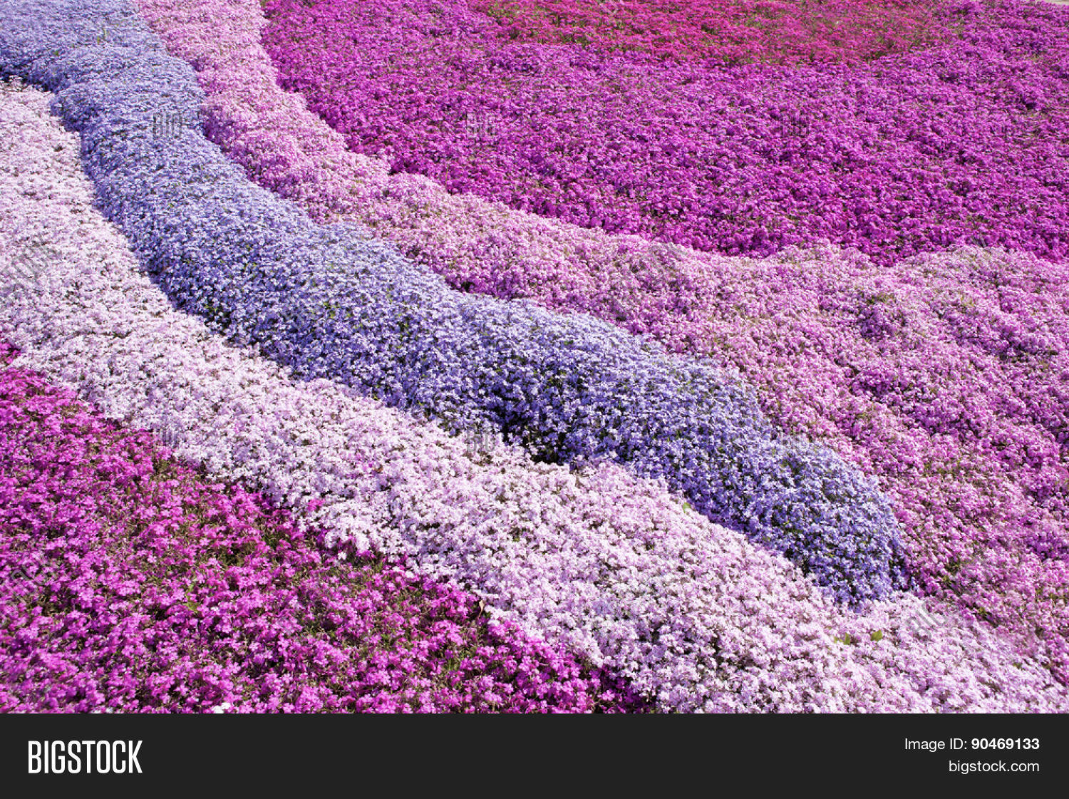 Drought Spells Bad News For Creeping Phlox Plants Both Stolonifera And Subulata Grow Best In Soil That Stays Moist