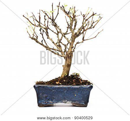 Bare bonsai tree