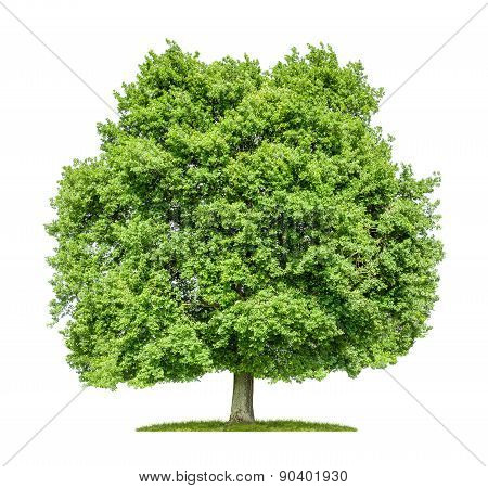 Old Oak Tree On A White Background
