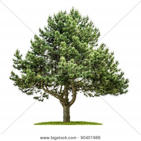 Old Pine Tree On A White Background