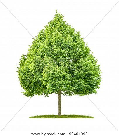 A Lime Tree On A White Background