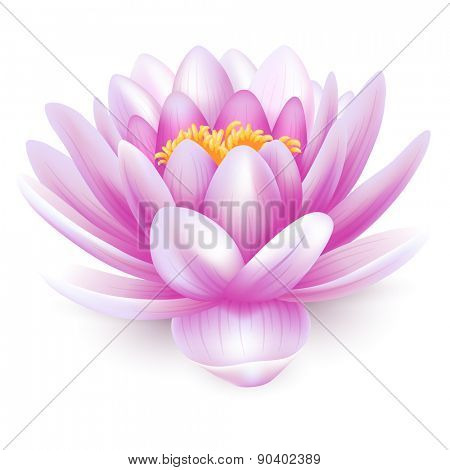 Beautiful pink water lily or lotus flower isolated on white background.