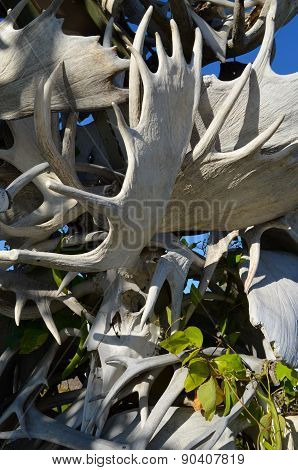 Alaskan Moose Antler Collection