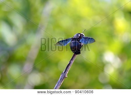 Big Black Bee Color Flying Insects Sitting On A Twig