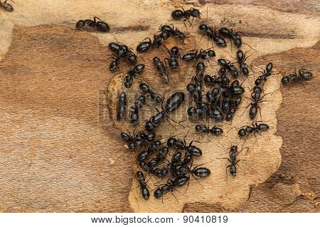 Black Social Ant Colony Close Up