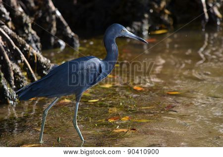 Little Blue Heron Walking