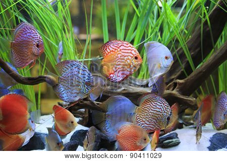 Symphysodon Discus In A Tank With Aquatic Plants