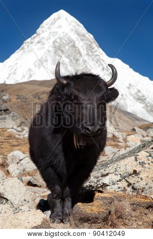 Yak And Mount Pumo Ri