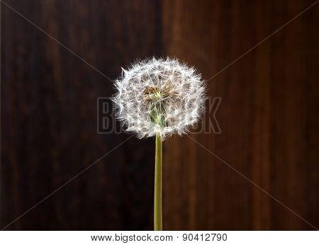 Spring Dandelion On A Background Of Wood