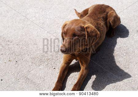 Tired Dog Lie In A Street