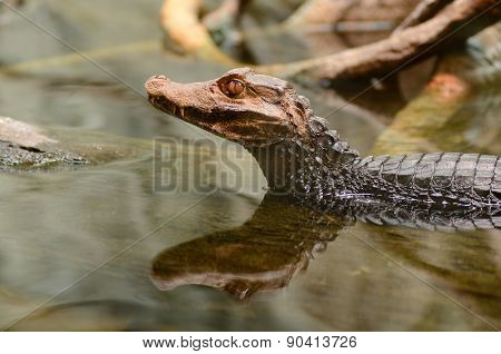Dwarf caiman in the water