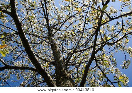 Blossom Cherry Tree