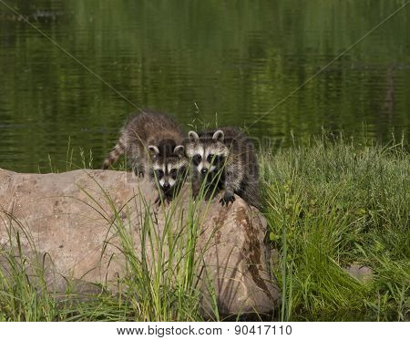 Two Young Raccoons