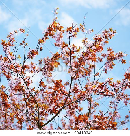 Sakura Blossom On Blue Sky Background