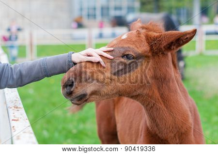 Girl stroking a brown head of foal