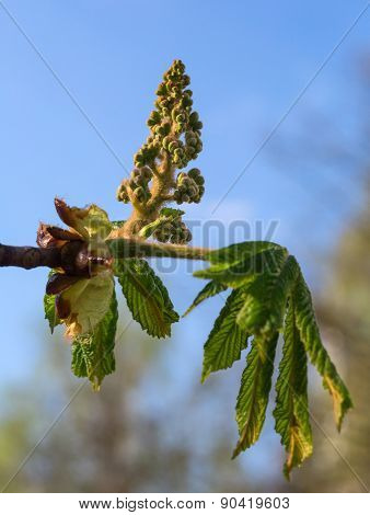 Chestnut Flower