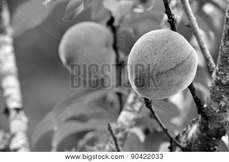 Black And White Peaches On Tree