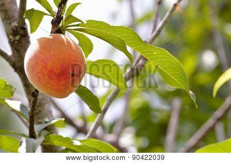 Peach On Peach Tree In Bright Sunlight