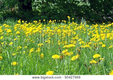 Dandelions Blooming