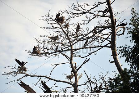 Cormorants Roosting