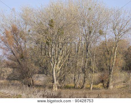 Bare Winter Trees in California