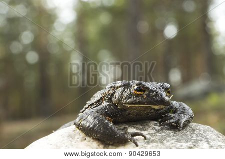 Toad crawls out of the stone in the forest, the Bokeh