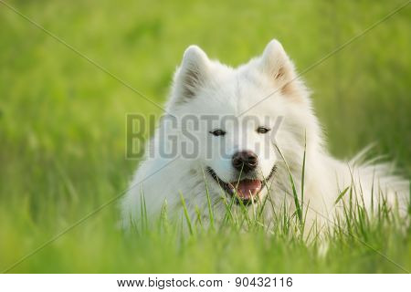 Portrait of Samoyed dog on a natural background