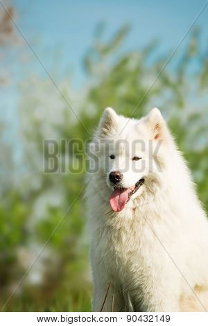 Portrait of Samoyed dog on the nature