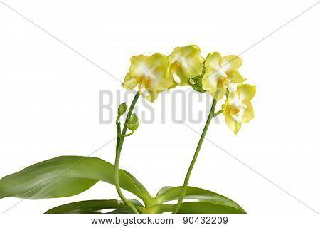 Phalaenopsis, Moth Orchid 'jadegreen Sweet'