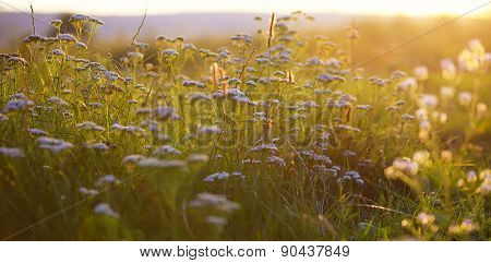 Cow Parsnip At Sunset