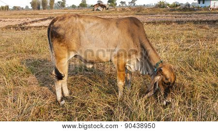 Brown Cow In The Fields