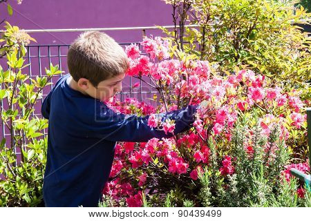 Child Cleans Bush Of Pink Azaleas