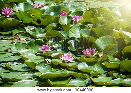 Pink Water Lily In The Sunrays