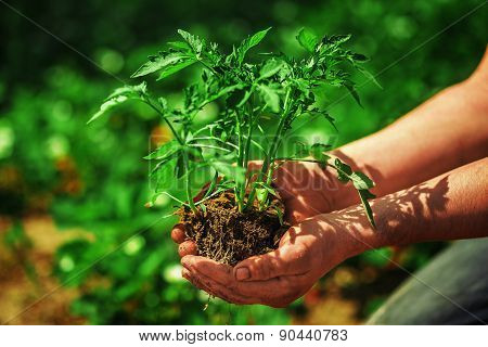 Seedling Tomatoes In Farmers' Hands