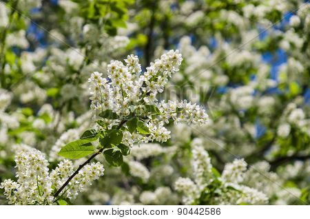 Bird Cherry Blossom With White Petals And Yellow Stamens