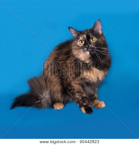 Tortoiseshell Cat Sitting On Blue