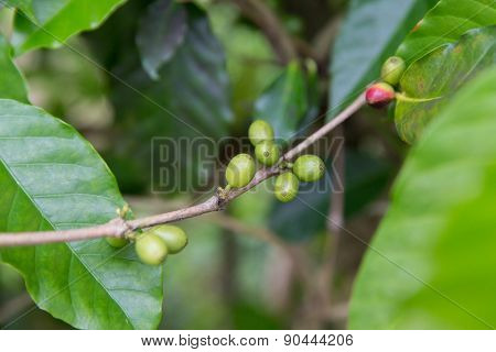 botany, agriculture, farming and flora concept - close up of unripe coffee fruits on branch with green leafs