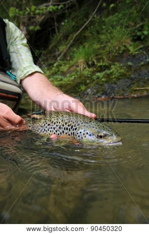 Closeup of brown trout caught by fisherman