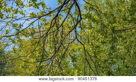 Panoramic Background Of Fresh Green Trees