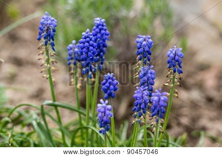 Blue Muscari Mill flowers close-up in the spring